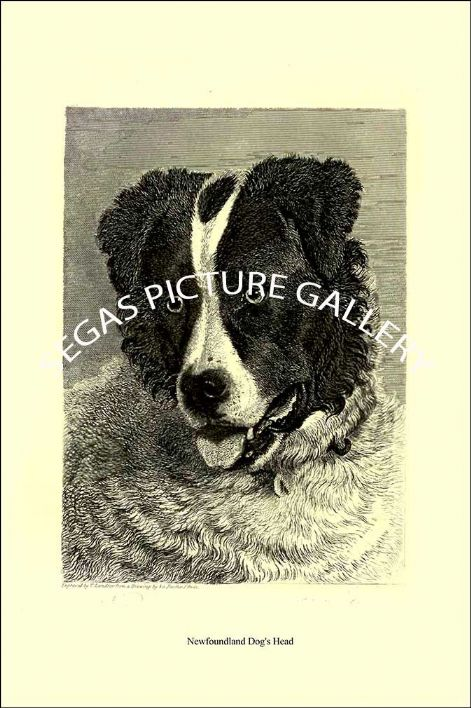 Fine art print of the Newfoundland Dog's Head  by Sir Edwin Landseer -1853)